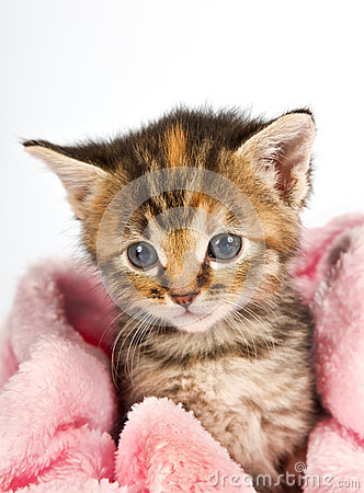 Pink blanket wrapped around little kitten