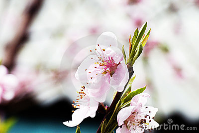 Pink blossoming peach flowers