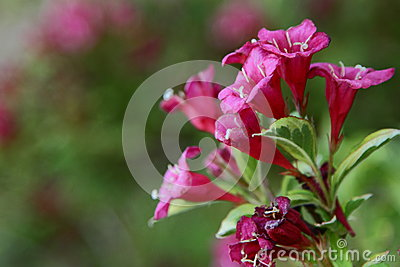 Pink Blossoms Of A Cardinal Shrub Stock Photo Image