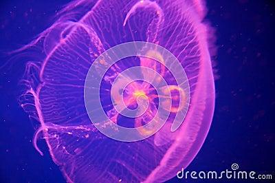 Pink Blue Moon Jellyfish - Aurelia aurita