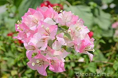 Pale Pink Bougainvillea Flowers In My Backyard Flickr
