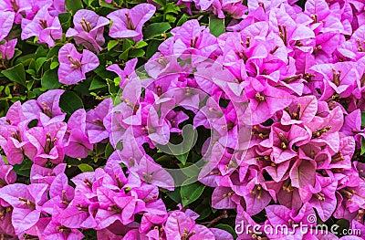 Pink Bougainvillea, Closeup