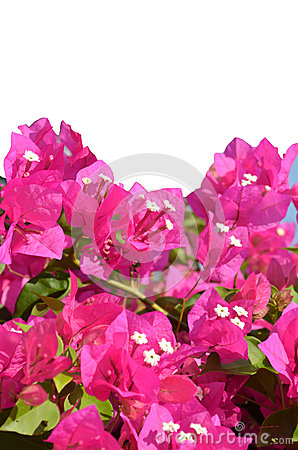 Free Pink Bougainvillea Flower Royalty Free Stock Photos - 31048948
