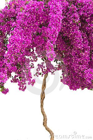 Pink bougainvillea tree on white