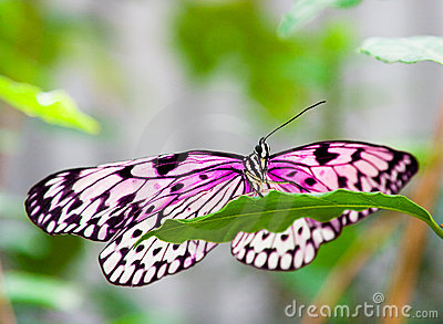 Pink butterfly on green leaf