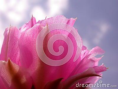 Pink Cactus Flower Blue Sky