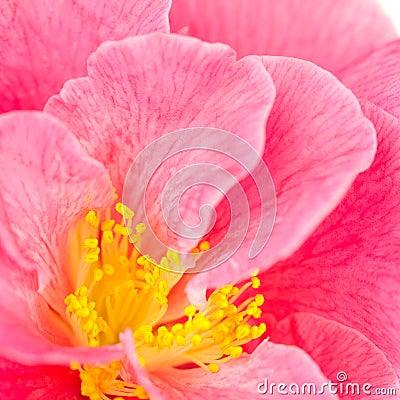 Pink camellia closeup