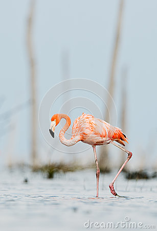 The pink Caribbean flamingo goes on the water.