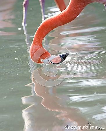 Free Pink Caribbean Flamingo Washing Head In Lake Royalty Free Stock Image - 14178736