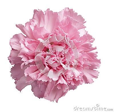 Free Pink Carnation Royalty Free Stock Image - 3582526