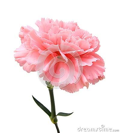 Free Pink Carnation Royalty Free Stock Images - 66946259