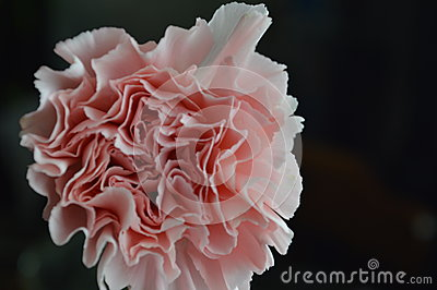 Pink carnation beauty