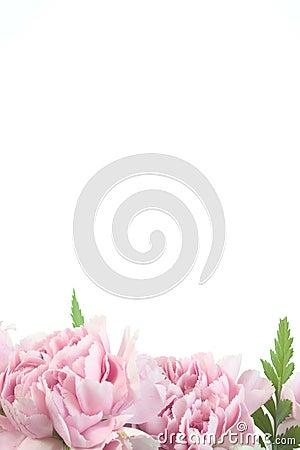 Pink carnation border