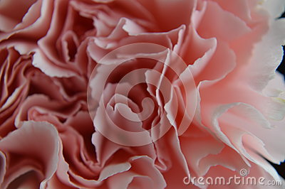 Pink carnation close up