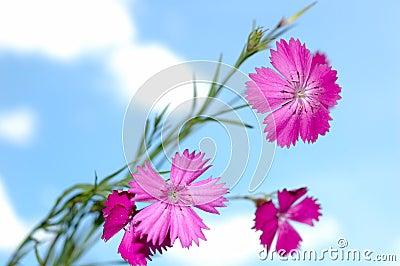 Pink carnation flowers.
