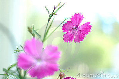 Pink carnation flowers.