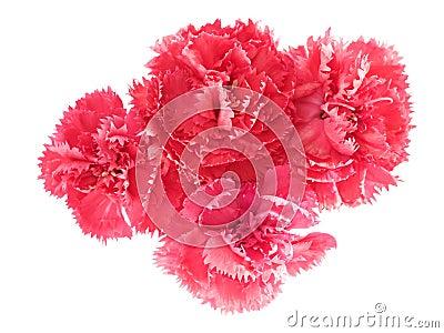 Pink carnation flowers Dianthus caryophyllus