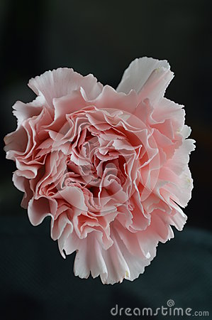 Pink carnation heart-shaped valentine