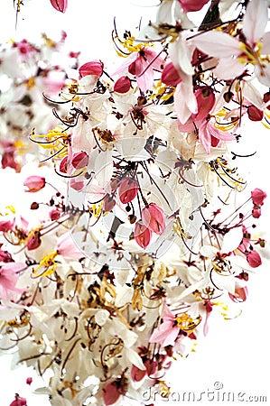 Pink cassia flower bouquet