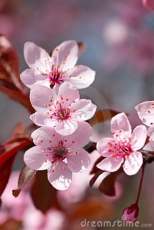 Free Pink Cherry Blossom Stock Images - 19149714