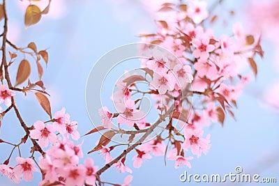 Pink sakura blue sky