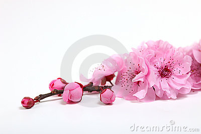 Pink Cherry Blossom Flowers Closeup