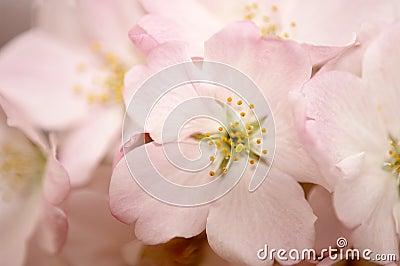 Pink Cherry Blossom Macro