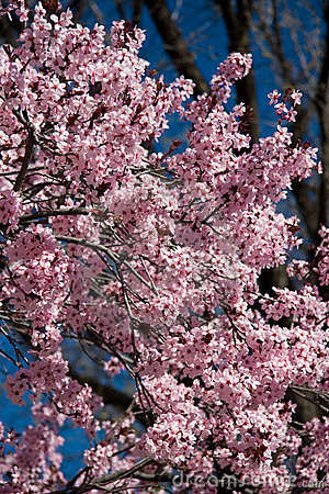 Free Pink Cherry Blossoms Royalty Free Stock Photo - 4743885