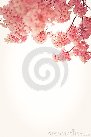 Free Pink Cherry Blossoms Stock Photo - 49973130
