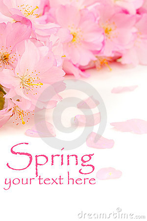 Free Pink Cherry Blossoms Royalty Free Stock Photography - 9204407
