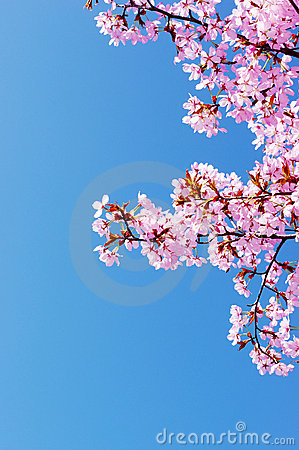 Free Pink Cherry Tree Blossom Royalty Free Stock Images - 19043759