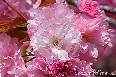 Pink cherry tree blossom