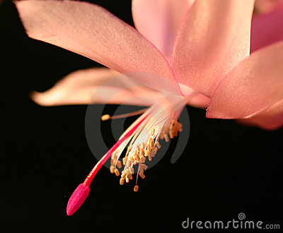 Pink christmas cactus flower
