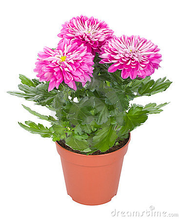 Pink chrysanthemum flowers in pot