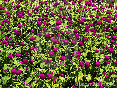 Pink clover flower bed lot in the sunlight.
