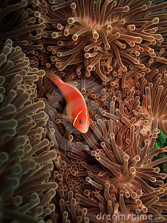 Pink clownfish (Amphiprion Perideraion)and anemone