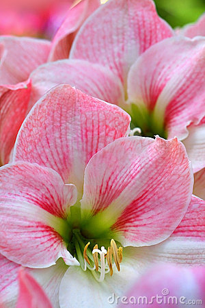 Free Pink Colored Lillies Stock Image - 5210381