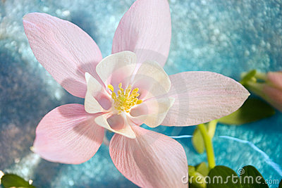 pink doubled columbine flower stock photo  image, Beautiful flower