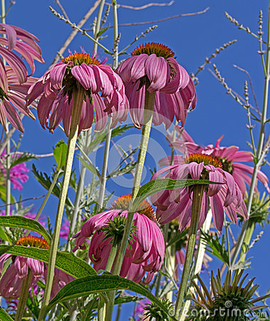 Pink Cone Flowers AS Seen From Below