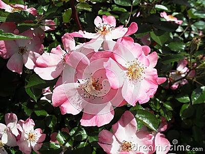Pink Coral Carpet Rose