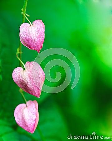 Pink Coral vine flower