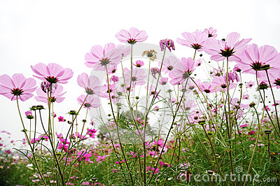 Pink coreopsis flowers