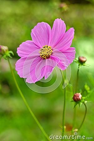 Pink cosmea (cosmos) flower