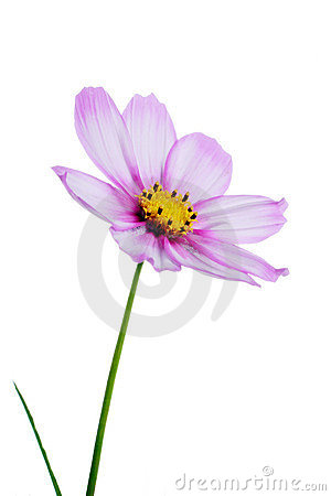 Free Pink Cosmos Royalty Free Stock Images - 1071879