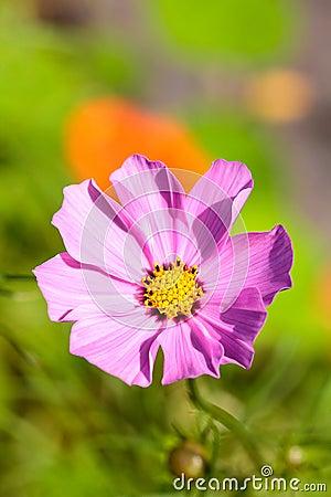Pink cosmos bipinnatus flower