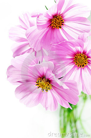 Cosmos Flowers on Pink Cosmos Flowers Royalty Free Stock Photo   Image  6520715