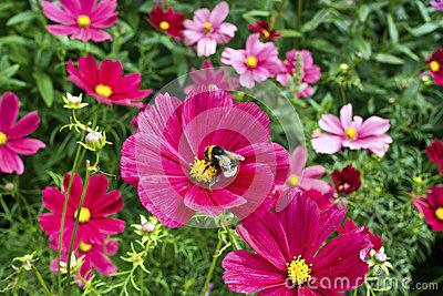 Pink cosmos flowers.