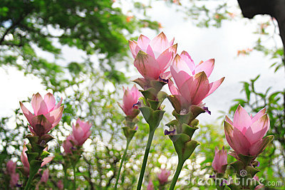 The pink Curcuma Alismatifolia flowers