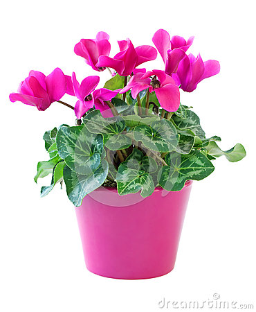 Free Pink Cyclamen Royalty Free Stock Image - 26654336