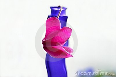 Pink cyclamen on blue vase